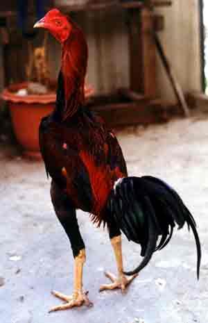 ไก่ชนพันธุ์นกกรดหางดำ